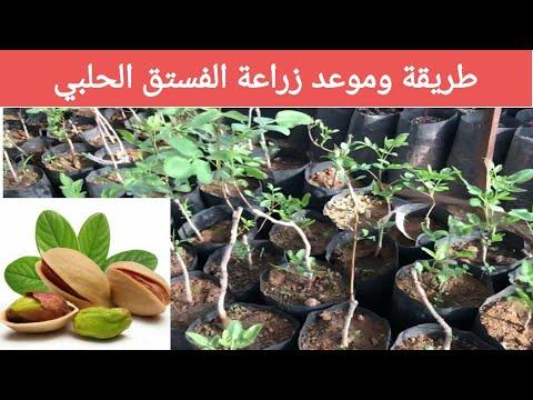 طريقة زراعة شجرة الفستق الحلبي - YouTube