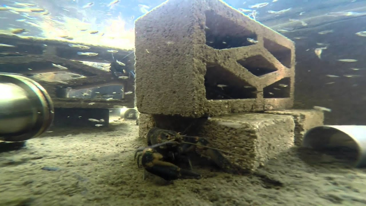 My Backyard Freshwater Lobster Farm Youtube