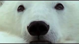 Животные мира Белый медведь Арктики Отличный пловец Ледяная пустыня Самый крупный Море льда