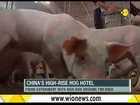 "WION Fineprint: China's ""high rise hog hotel"" is taking its farms to a new high"
