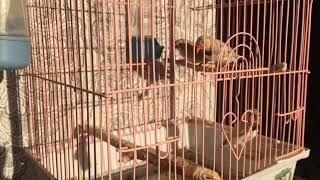 Птицы. Зебровые Амадины
