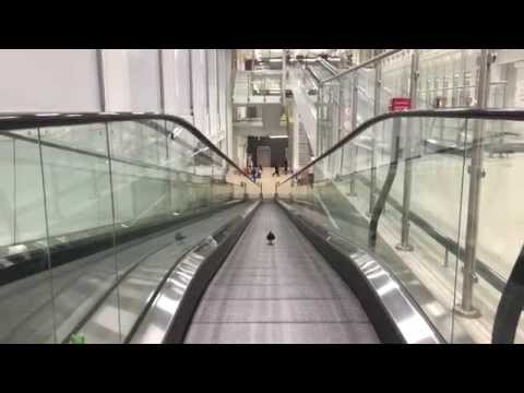 Pigeon Treadmill Training