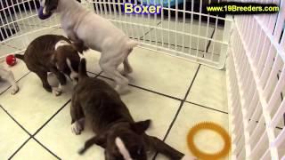 Boxer, Puppies, Puppies, For, Sale, In, Boise City, Idaho, Id, Rexburg, Post Falls, Lewiston, Twin F