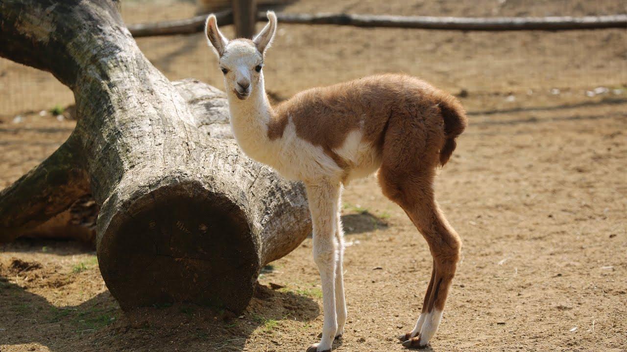 Cool Llama Names