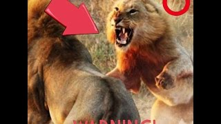Lion vs Tiger, Real Fight (Awesome Video) / Leon vs Tigre, Pelea Real (Impresionante Video)