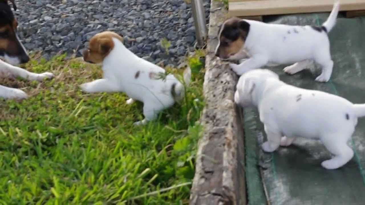 Chiot Jack Russel A Donner Sosanimaux