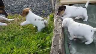 CHIOT JACK RUSSEL PUPPIES