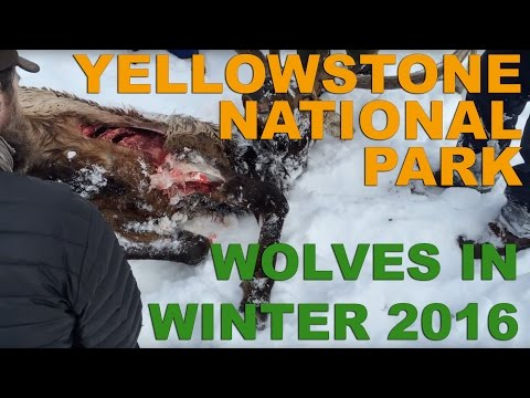 Yellowstone National Park Wolves - Winter 2016