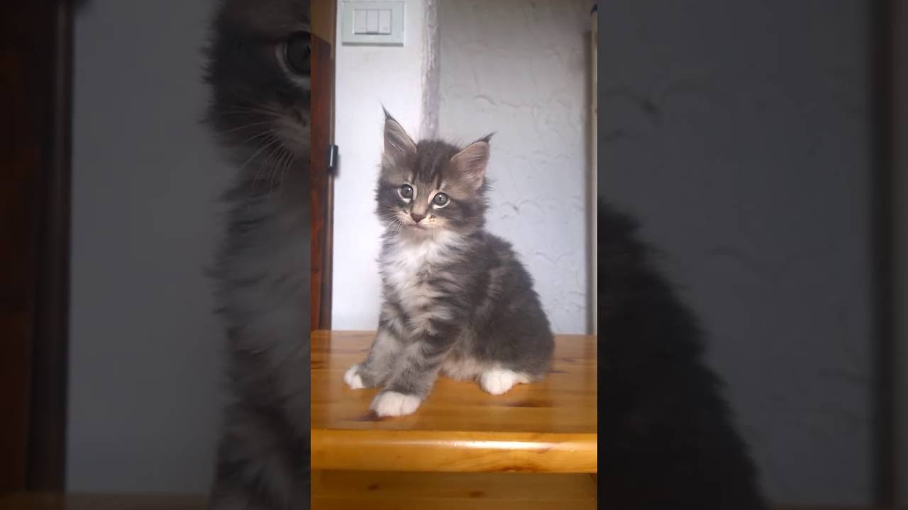 Cucciolo Femmina Gatti Norvegese Delle Foreste Youtube