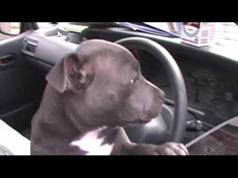 Cute Puppy Staffordshire Bull Terrier Named Gary D Youtube