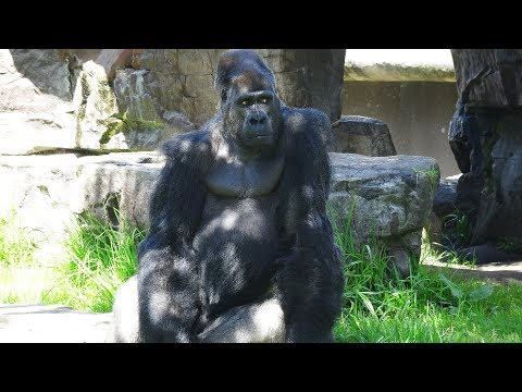 Gorillas Amazing Some Funny Moments