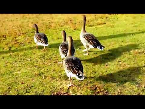geese-birds-and-ducks-in-switzerland