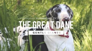 ALL ABOUT THE GREAT DANE THE K9 GENTLE GIANT