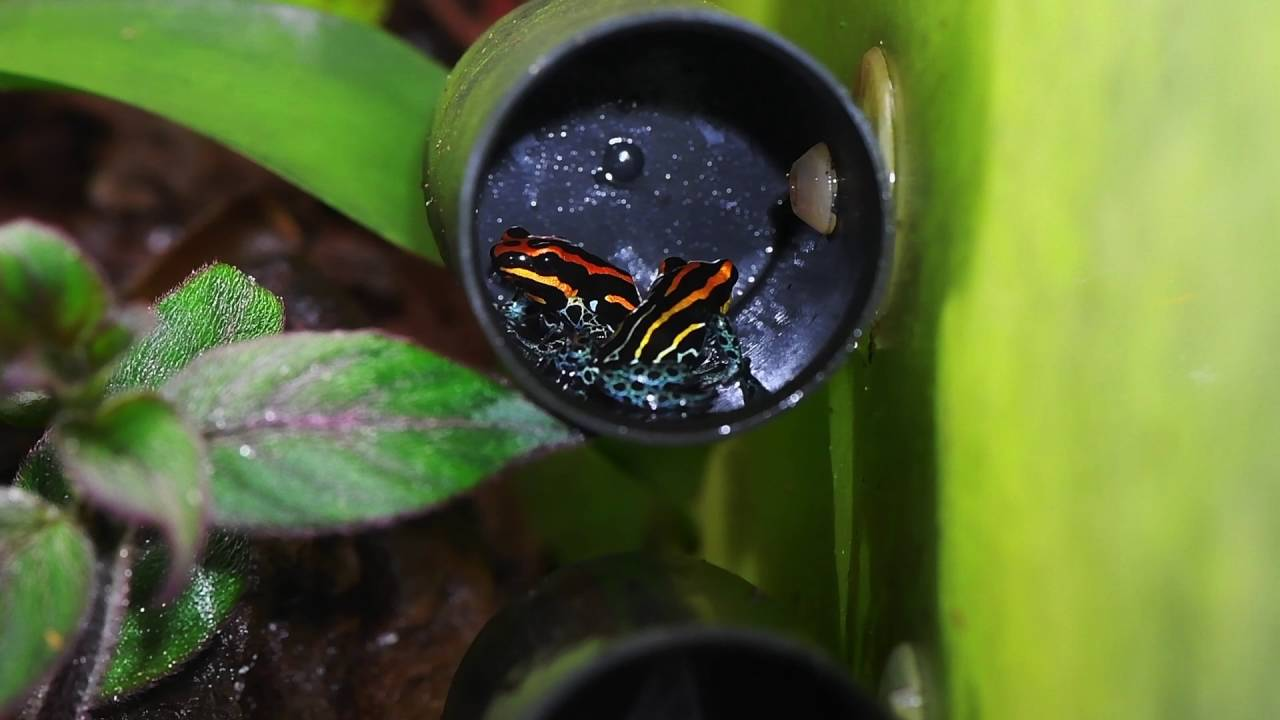 Ranitomeya amazonica | Information, photos, call, video, links