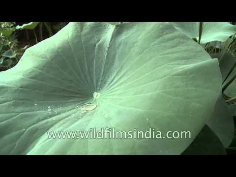 Water Resistant Leaves Of Lotus Or Nelumbo Nucifera