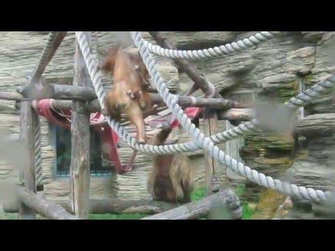 Sumatran orangutan youngsters at Moscow Zoo