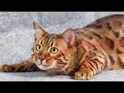9 Kucing Paling Mahal Di Dunia 2017