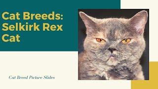 Selkirk rex Slides  Cat Breeds