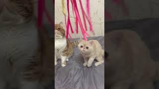 Киска Экзот 4 месяца в сравнении со взрослым котом экзотической породы