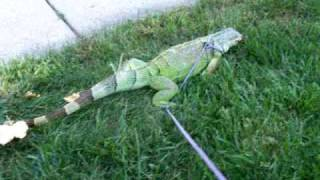 Potty Trained Iguana