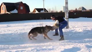 Дрессировка собак.Лобовая атака(Собака атакует человека, который бежит на встречу ей с угрозой., 2013-04-23T09:54:02.000Z)