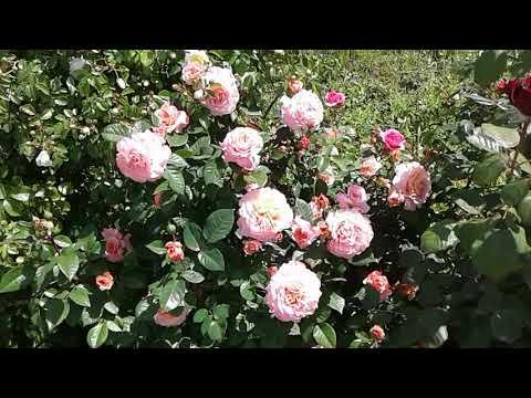 Питомник роз Полины Козловой - Роза Августа Луиза