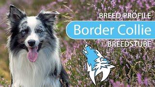Border Collie Breed, Temperament & Personality