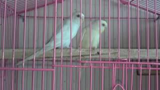 red eye parrot help in urdu