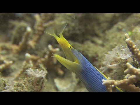 Wori, Tiwoho, Manado, Bunaken, Bunaken Island, muck diving, scuba diving, Indonesia, diving, underwater, nudibranch, catfish, ribbon eel, squid, shrimpfish, Sulawesi, critters, Asia, Nick Hope, Bubble Vision, Two Fish Divers, HD