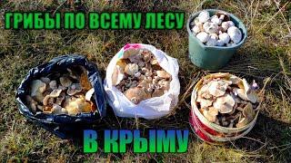 Грибы РЯДОВКА заваливают Крым Грибы Крыма рядовка осенняя грибы в Крыму сбор грибов 2021