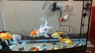 Japon Bal Yumurtlamas Japan Goldfish Spawning
