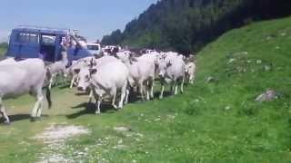 Vidéo Transhumance en Bethmale 2015,l'arrivée des vaches au cirque de campuls