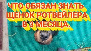ЧТО ДОЛЖЕН ЗНАТЬ ЩЕНОК РОТВЕЙЛЕРА В ТРИ МЕСЯЦА.дрессировка и воспитание собаки