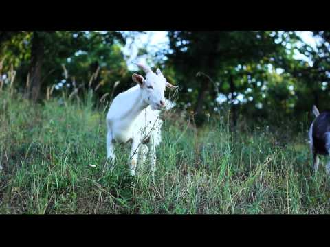 Goats - Free HD stock footage