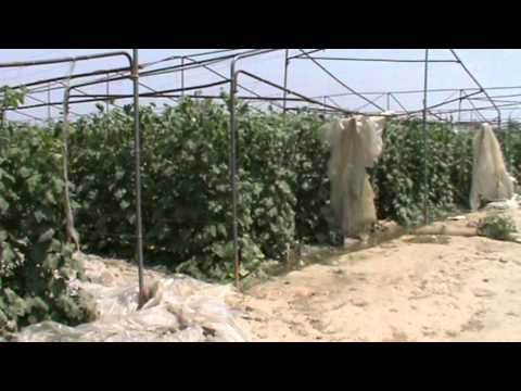 Mirza Farms, Okara.Tunnel farming vegetable pakistan, by Sajid iqbal Sandhu, 0321-8669044.MPG