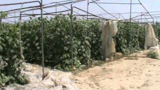 Mirza Farms, Okara.Tunnel farming vegetable pakistan, by Sajid iqbal Sandhu, 0321-8669044.MPG