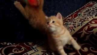 Шотландские котята красный мрамор - ПРОДАЖА !!!