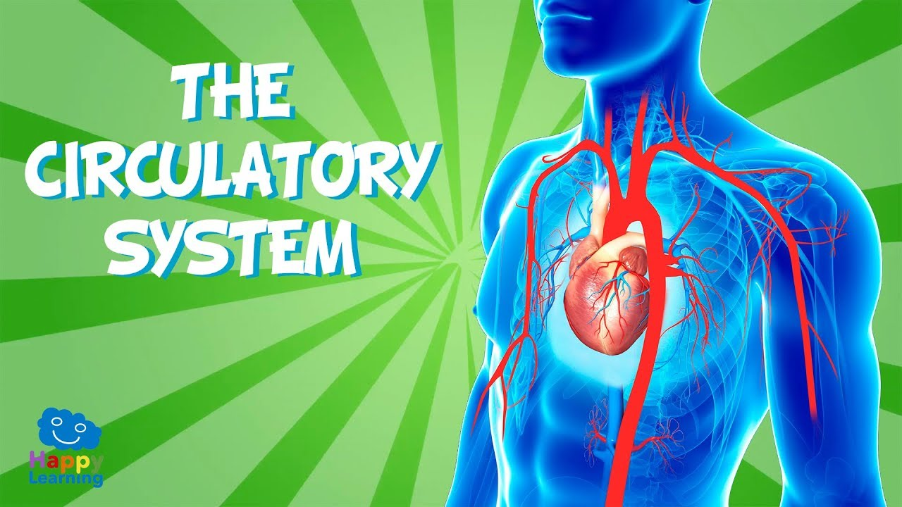hight resolution of the circulatory system educational video for kids