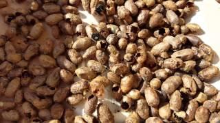 Mason Bees hatching.