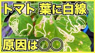 トマトの葉に白い線が現れる原因は?病気?害虫?栄養不足?日焼け?【特徴的な痕跡で初心者でもラクラク診断】