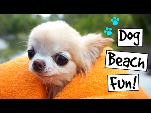 CUTE PUPPY sized chihuahua SWIMMING and dog beach fun