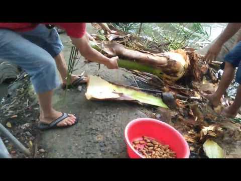 Chặt cây dừa có nhiều đuông to   -- Catching coconut larva in Vietnam