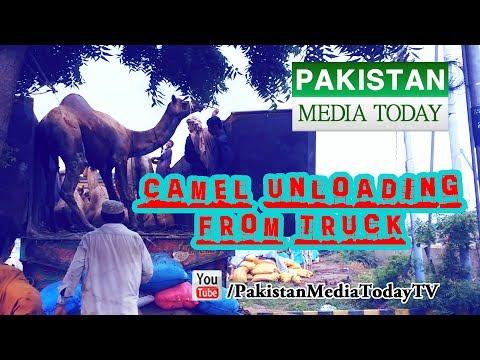 Camel Unloading from Truck | Camel Mandi Karachi Pakistan | Full HD
