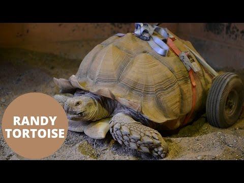 tortuga quedo discapacitada tras dos meses de desenfreno sexual