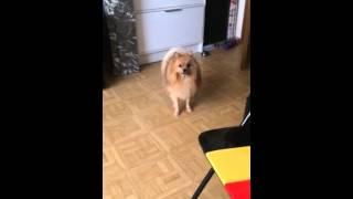 Cute Dog Rambo