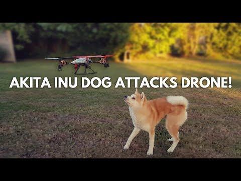 Akita Inu Kaitô - Dog Attacks Drone!