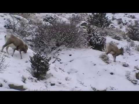Bighorn Sheep (Yellowstone National Park)