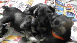 Miniature Schnauzers - Tag Team Wrestling