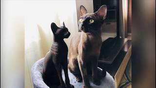 Диана Капучино Кэт Бурманская кошка