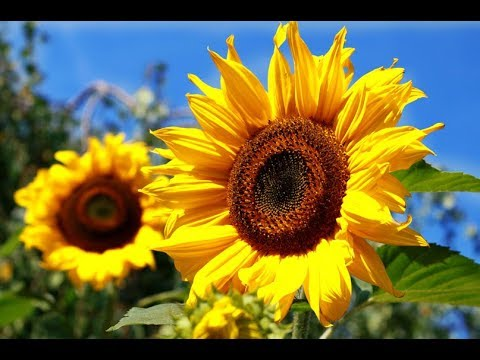 how-to-grow-sunflower-from-seeds-|-garden-flower-plants